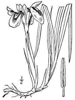 Iris_verna_BB-1913