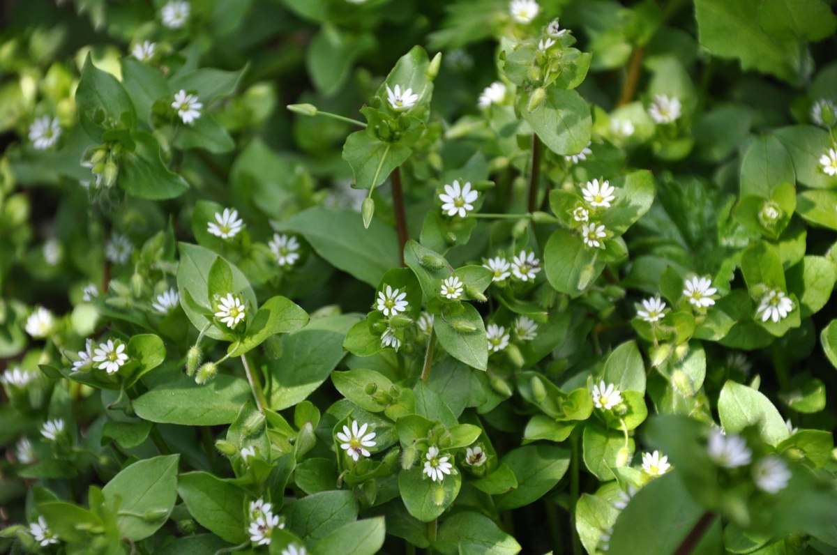 chickweed flowers and foliage photo