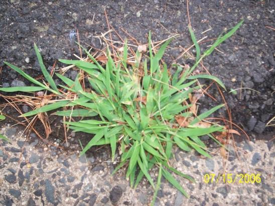 photo of crabgrass