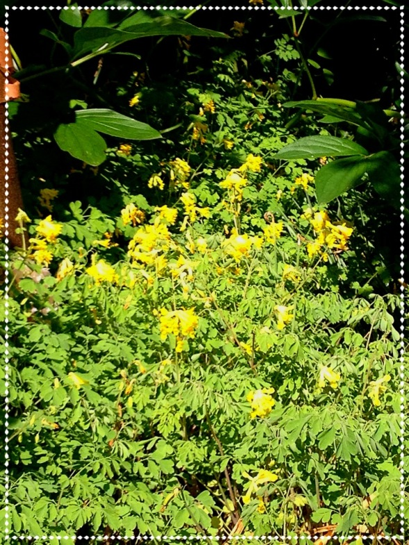 Yellow fumitory (Corydalis lutea)