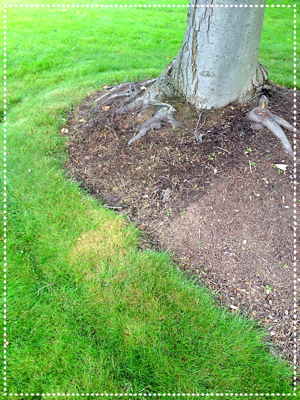A trough that is less than 2 inches deep edges the maple tree border. The exposed roots are protected from mower damage by the border.