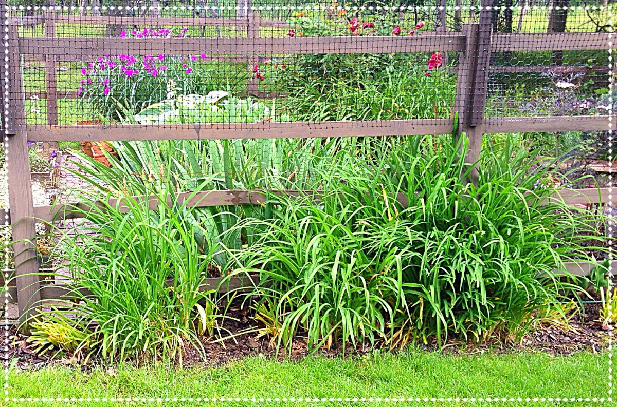 Daylily foliage covers fading daffodil leaves, and edges the garden fence.