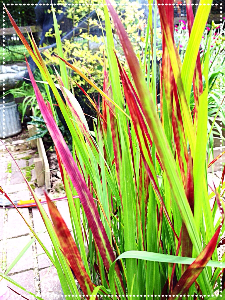 Photo of Japanese Blood Grass ( Imperata cylindrica)