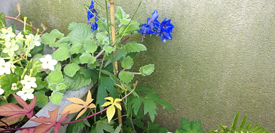 Photo of cobalt colored delphinium with ferns, nicotiana, and sweet potato vine