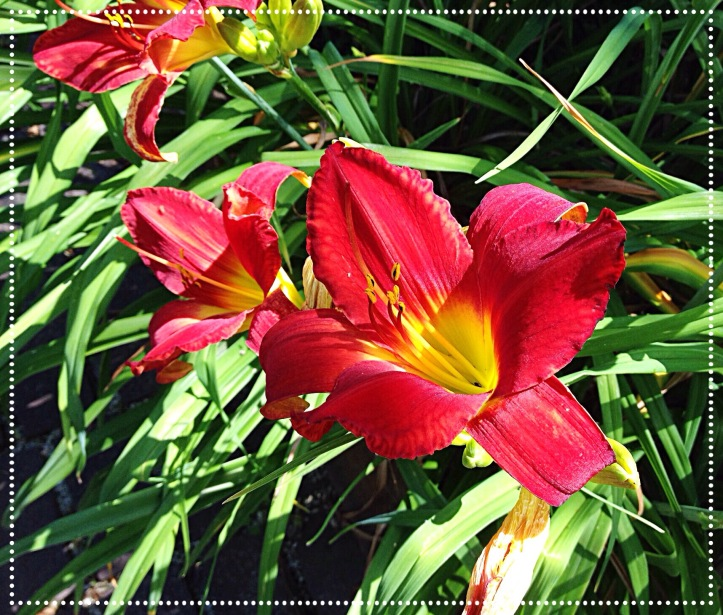 photo of red Daylily