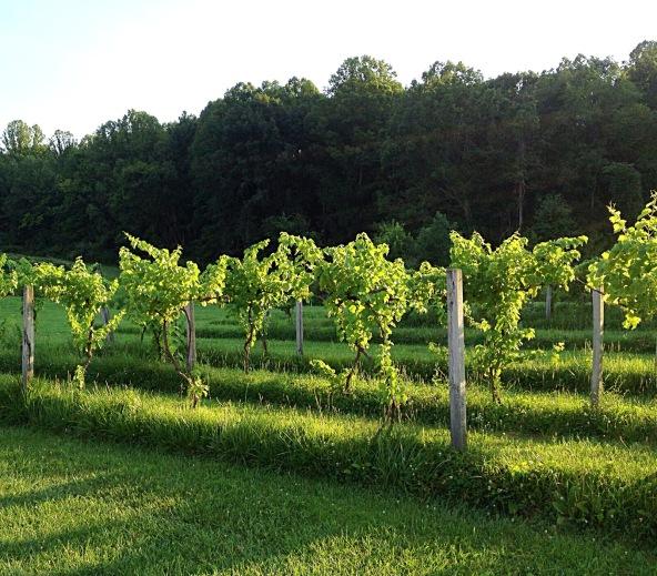Photo showing sun shining through grape leaves on vines