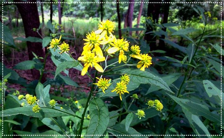 Photo of Wingstem (Verbesina alternifolia)