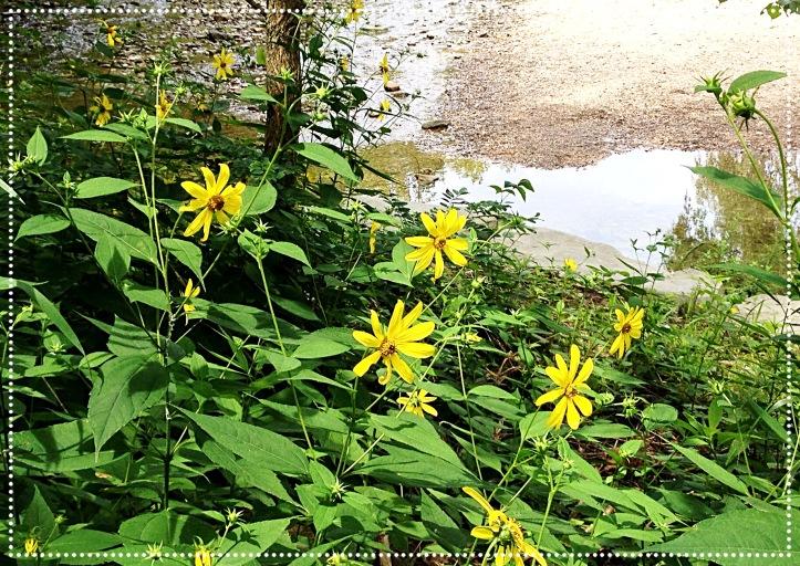 Photo of Sawtooth Sunflower (Helianthus grosseserratus)