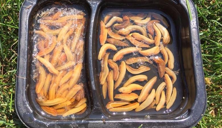 photo of slugs in plastic tray