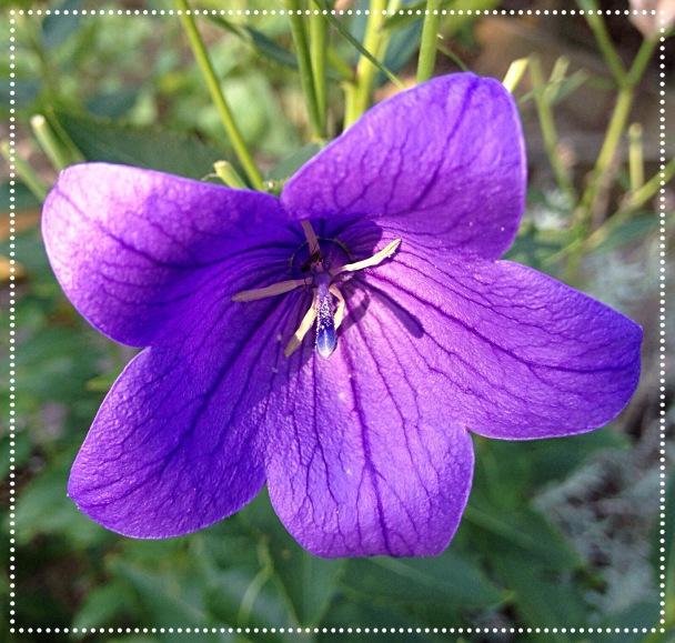 Photo of Bellflower (Campanula) close up