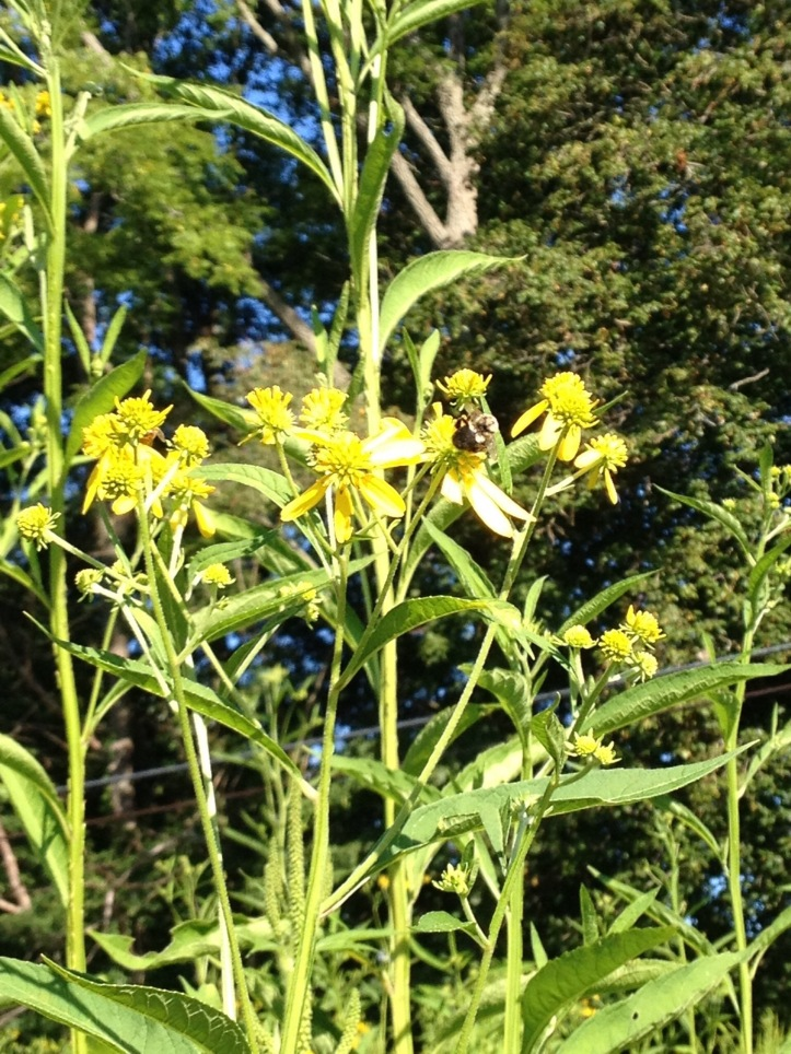 photo of yellow crownbeard