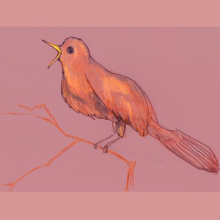drawing of nightingale