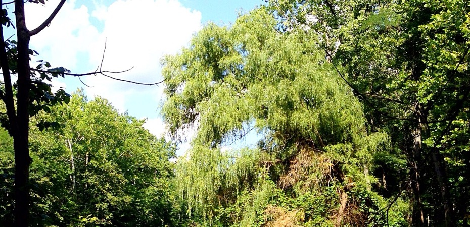 Photo of willow in front of blue sky