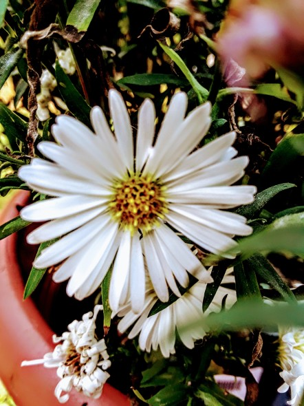 Aster novi-belgii 'White Opal'