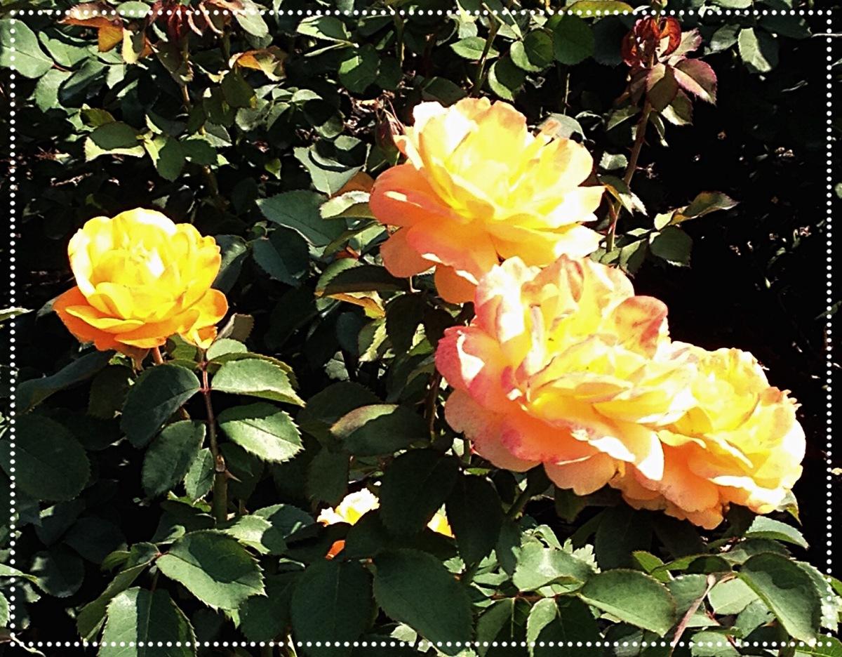 more peach roses