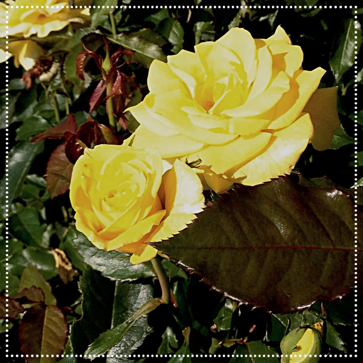yellow rose2